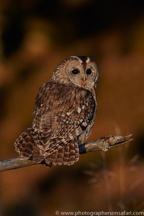 Tawny Owl 2014-14copyright-photographers-on-safari-com