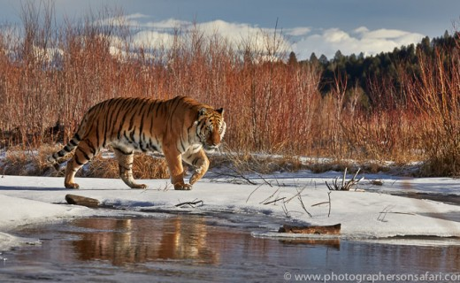 Big Cats in Snow – Montana 2015