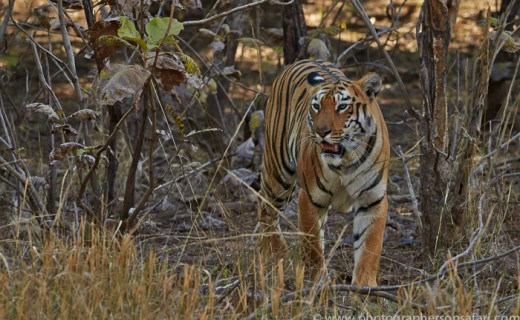 India – Tigers, Wild Dogs & Gharials