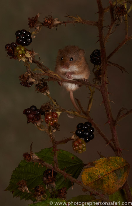 Harvest Mouse-copyright-photographers-on-safari-com-6153