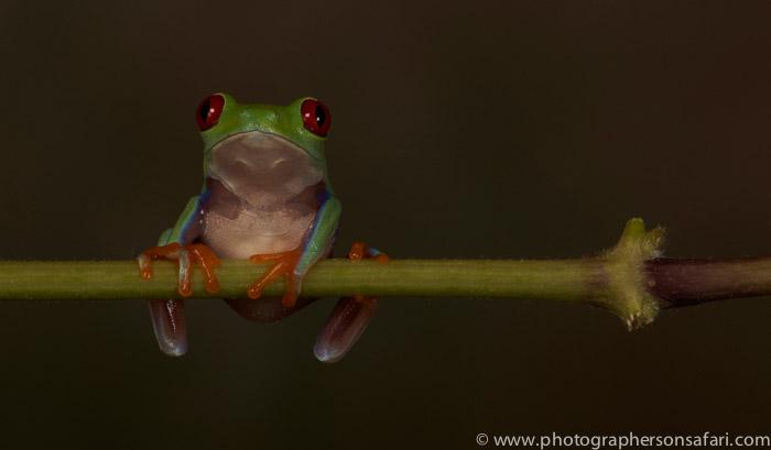 Red-Eyed-Tree-Frog-copyright-photographers-on-safari-com-6189