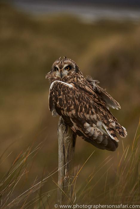 Short-Eared-Owl-copyright-photographers-on-safari-com-6077