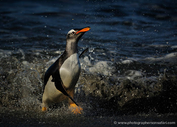 gentoo-penguin-falkland-islands-4881-copyright-photographers-on-safari-com