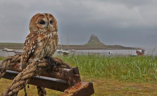 Birds of Prey on Holy Island