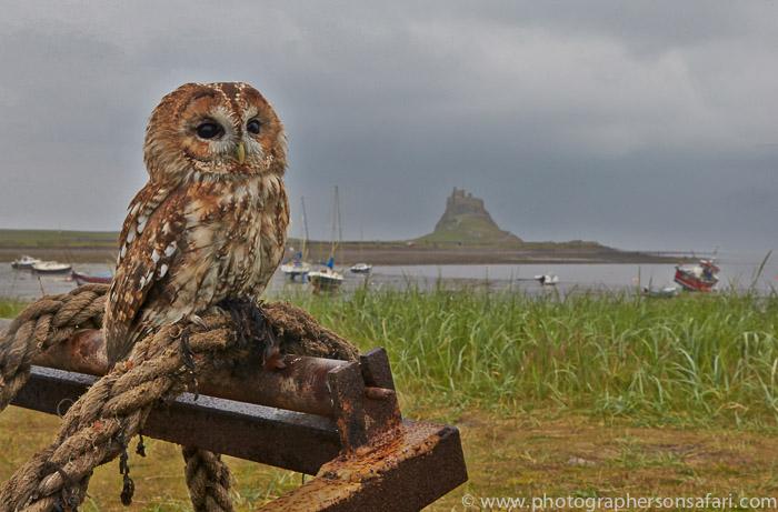 Tawny-Owl-copyright-photographers-on-safari-com-6094
