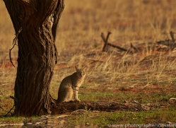 african-wildcat-copyright-photographers-on-safari-com-7029