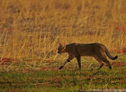 african-wildcat-copyright-photographers-on-safari-com-7030