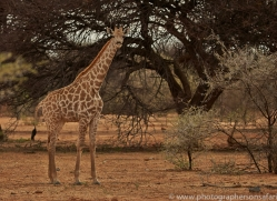 angolan-giraffe-copyright-photographers-on-safari-com-6993