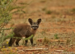 bat-eared-fox-copyright-photographers-on-safari-com-7041