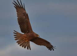 black-kite-copyright-photographers-on-safari-com-7049