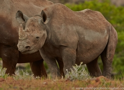 black-rhino-copyright-photographers-on-safari-com-6972