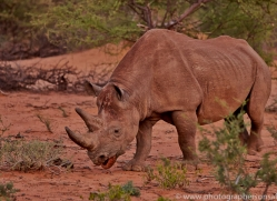 black-rhino-copyright-photographers-on-safari-com-6976