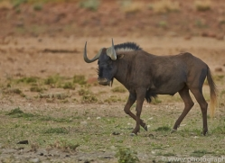 black-wildebeest-copyright-photographers-on-safari-com-6965