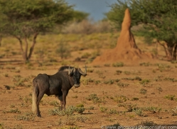 black-wildebeest-copyright-photographers-on-safari-com-6969