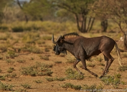 black-wildebeest-copyright-photographers-on-safari-com-6970