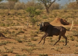black-wildebeest-copyright-photographers-on-safari-com-6971