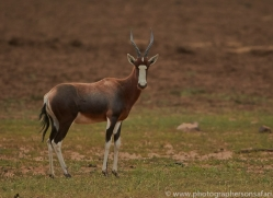 blesbok-copyright-photographers-on-safari-com-7048