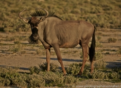 blue-wildebeest-copyright-photographers-on-safari-com-6977