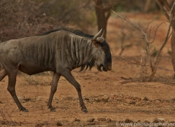 blue-wildebeest-copyright-photographers-on-safari-com-6978