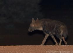 brown-hyena-copyright-photographers-on-safari-com-6980
