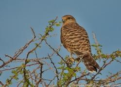 brown-kestrel-copyright-photographers-on-safari-com-7037