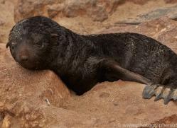 cape-fur-seal-copyright-photographers-on-safari-com-6982