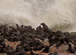 cape-fur-seal-copyright-photographers-on-safari-com-6983