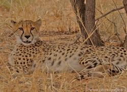 cheetah-copyright-photographers-on-safari-com-6817