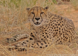 cheetah-copyright-photographers-on-safari-com-6819