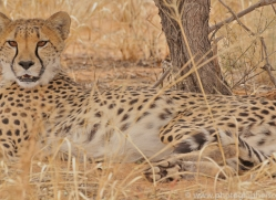 cheetah-copyright-photographers-on-safari-com-6821