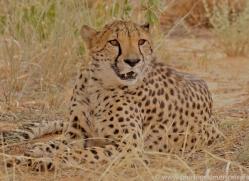 cheetah-copyright-photographers-on-safari-com-6823