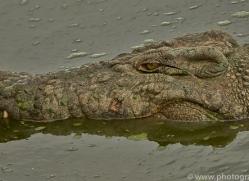 crocodile-copyright-photographers-on-safari-com-6989
