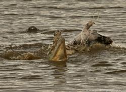 crocodile-copyright-photographers-on-safari-com-6990