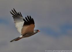 dark-chanting-goshawk-copyright-photographers-on-safari-com-7039