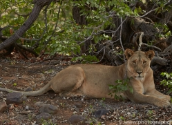 desert-lion-copyright-photographers-on-safari-com-6772
