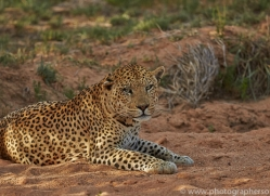 leopard-copyright-photographers-on-safari-com-6793