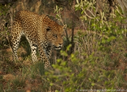 leopard-copyright-photographers-on-safari-com-6798