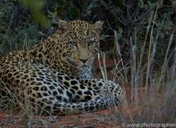 leopard-copyright-photographers-on-safari-com-6800