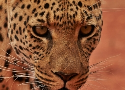 leopard-copyright-photographers-on-safari-com-6801