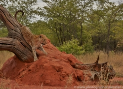 leopard-copyright-photographers-on-safari-com-6804