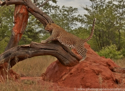 leopard-copyright-photographers-on-safari-com-6806