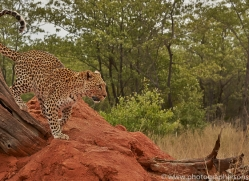 leopard-copyright-photographers-on-safari-com-6808