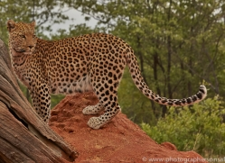 leopard-copyright-photographers-on-safari-com-6809