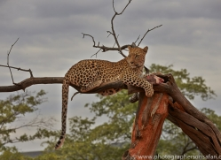 leopard-copyright-photographers-on-safari-com-6810