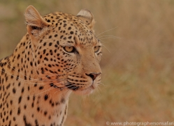 leopard-copyright-photographers-on-safari-com-6812