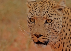 leopard-copyright-photographers-on-safari-com-6813