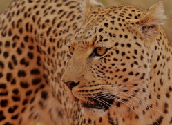 leopard-copyright-photographers-on-safari-com-6814