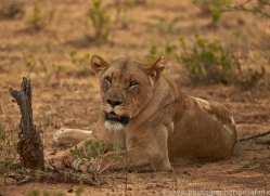 lion-copyright-photographers-on-safari-com-6773