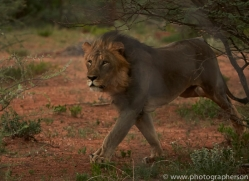 lion-copyright-photographers-on-safari-com-6774