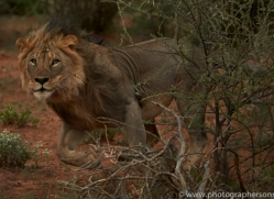 lion-copyright-photographers-on-safari-com-6775